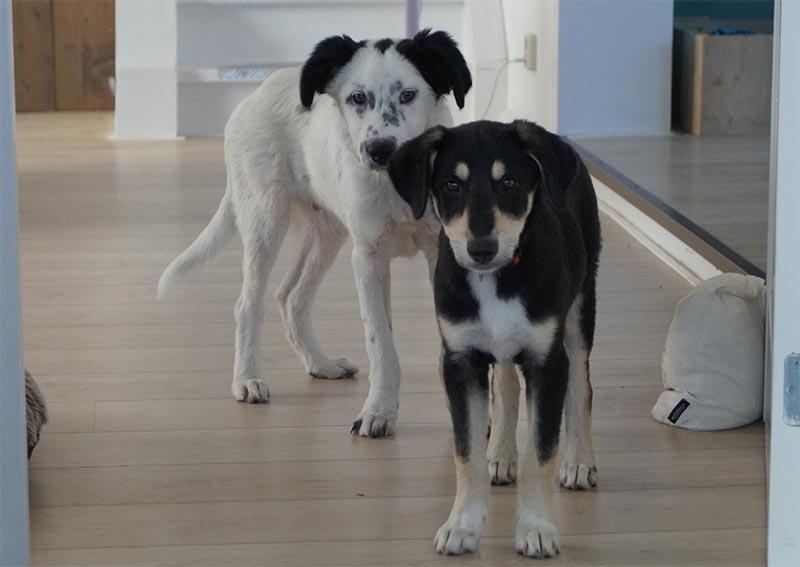 Gastgezin worden voor buitenlandse stichting - Griekse zwerfhonden - Skýlos Strays