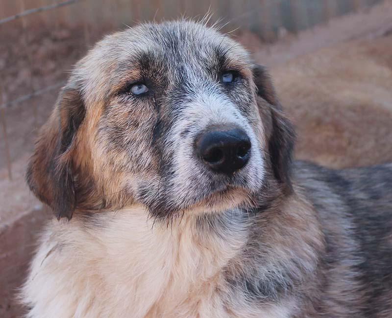 Dawn is een zwerfhond met opvallend blauwe ogen en een prachtige kleurschakering in haar vacht - Deze hond zoekt nog een baasje!