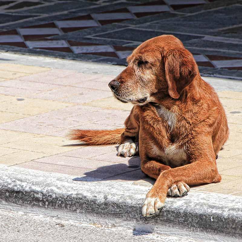 Waarom een Griekse hond adopteren? - Skýlos Strays