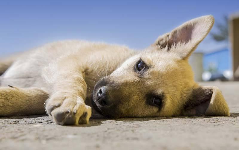 Middellandse Zeeziektes bij de hond - Leer de ziektes herkennen