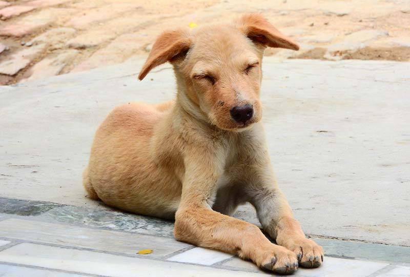 Middellandse Zeeziektes bij de hond - Leishmania, Ehrlichia, Babesia en Hartworm