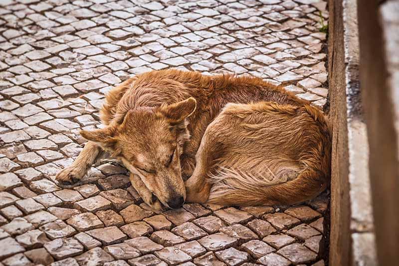 Middellandse Zeeziektes bij de hond - Welke ziektes kan een Griekse hond krijgen
