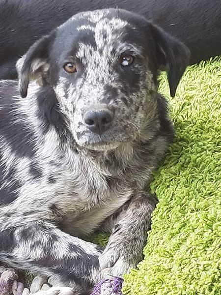 Willow is een hond uit het buitenland Haal jij hem uit de shelter? 2