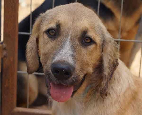 Greco zoekt een thuis zonder klierkoppen - Adopteer deze Griekse hond