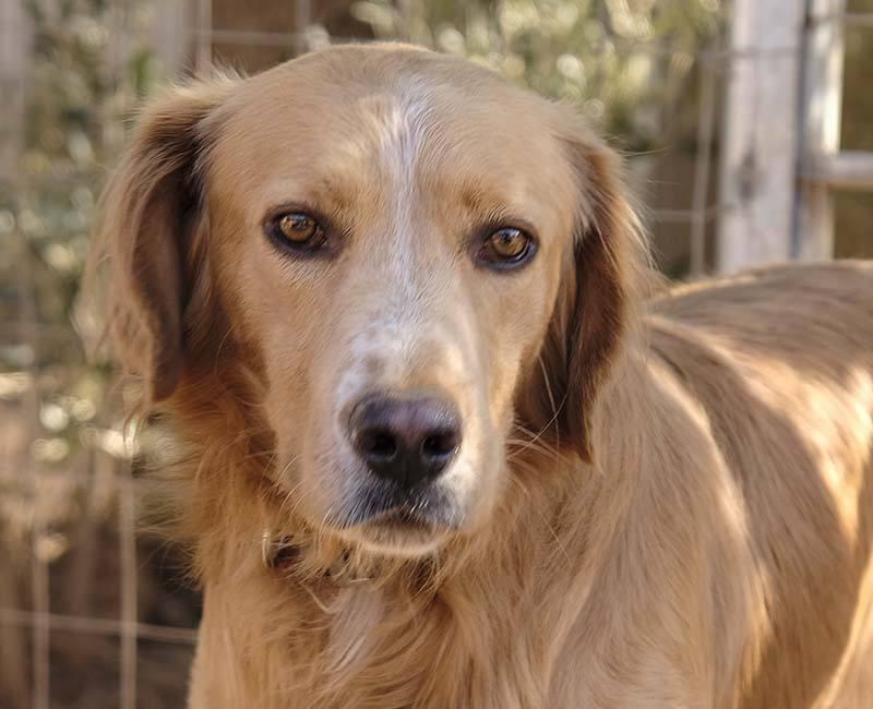 Kanelo lijkt een mix Ierse Setter en Golden Retriever - deze Griekse hond zoekt een baasje