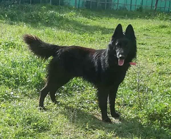 Griekse Belgische Herder Goran zoekt een baasje!
