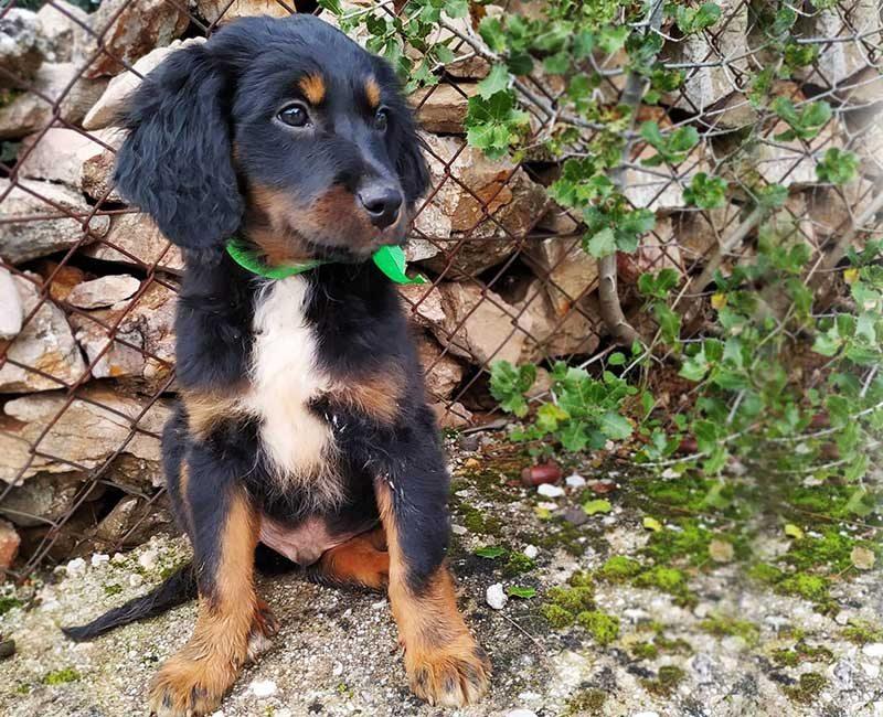 Bretonse Spaniel pup Dóro zoekt een huisje! Adopteer deze hond