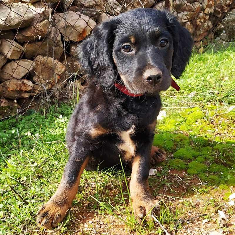 Eirini is een X Epagneul Breton pup en zoekt een baasje