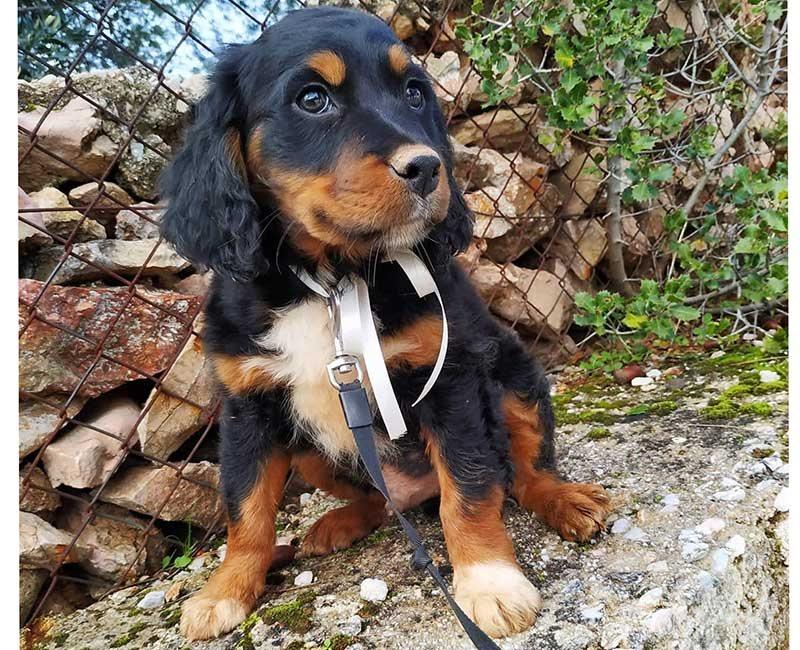 Kerstpup Noël is ongewenst in Griekenland_geef jij deze Epagnaeul Breton pup een thuis?