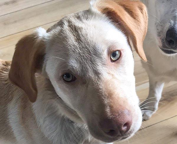 Griekse Mara lijkt op een Labrador en is in Nederland_ze zoekt een baasje