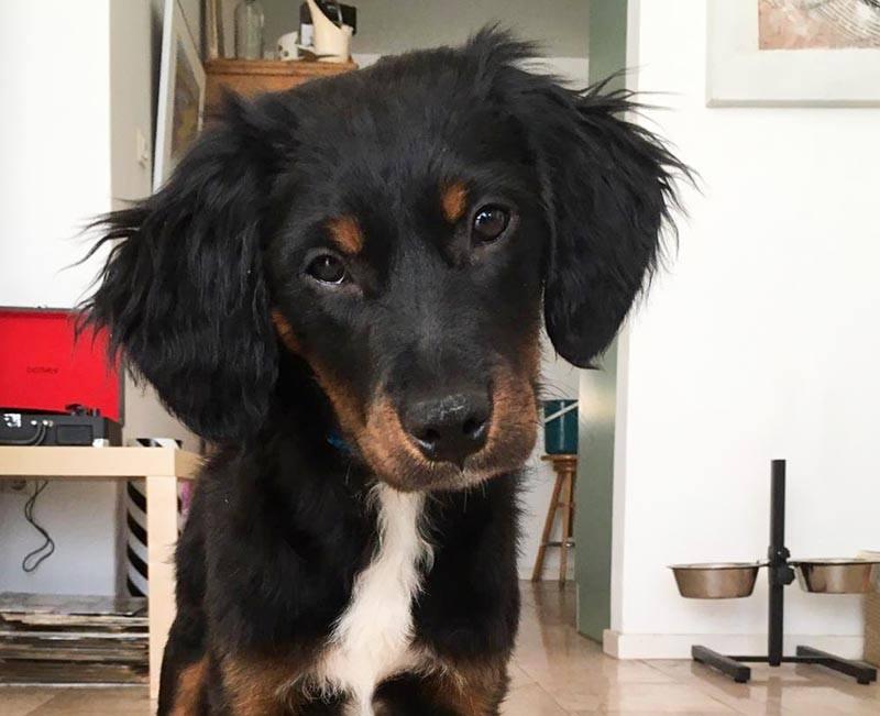 Prachtige pup Rafa heeft een gouden mandje