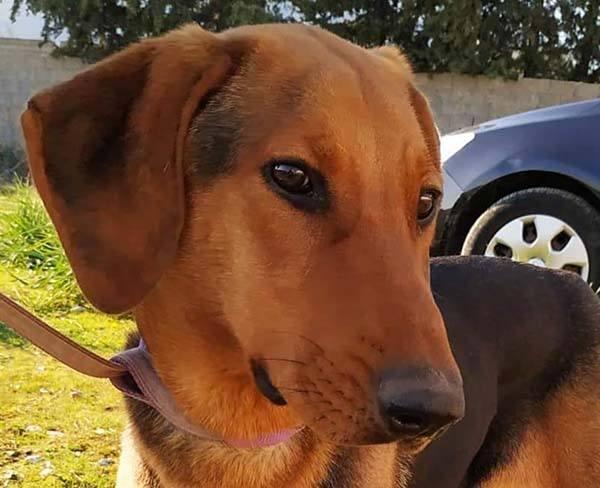 Lieve Griekse Simi is een modelhondje - adopteer deze buitenlandse zwerfhond