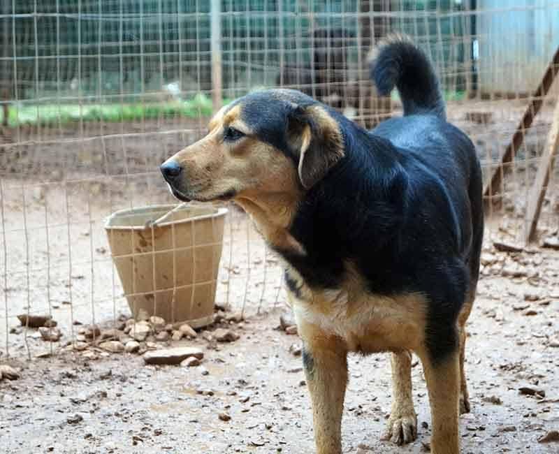 Adopteer Artemis, deze buitenlandse hond wil graag geadopteerd worden