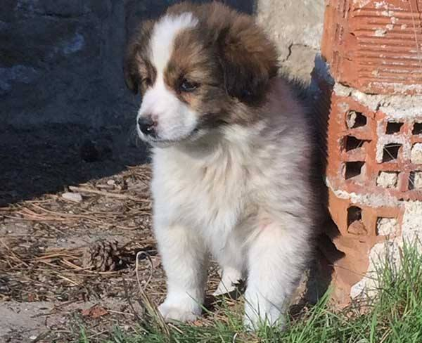 Griekse hond Zoya is een bescheiden meisje _ geef deze pup een veilig thuis