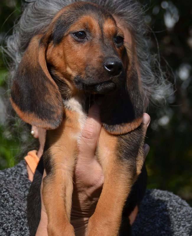 Pup Candy heeft grote flaporen _ adopteer dit zoete hondje