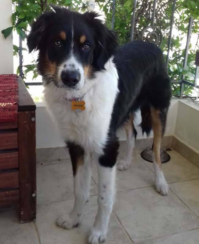Puberhond Vito heeft veel weg van een Border Collie _ verhuisdier zoekt een mand