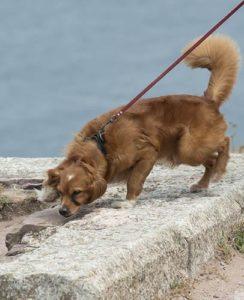 Een halsband kan de hals van de hond beschadigen bij trekken
