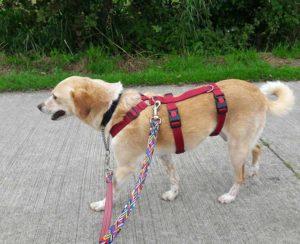 Veiligheidstuig (anti-ontsnappingstuig) voor een buitenlandse hond (2)