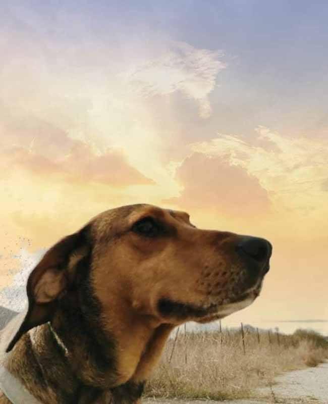 Lieve Timo zoekt een baasje _ geef deze Griekse hond een kans