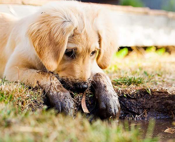 Een pup in huis _opvoeding en voorbereiding
