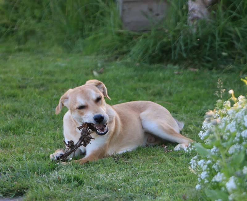 Herplaatser Brad zoekt een rustig huisje_adopteer deze buitenlandse hond!