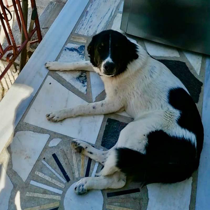 Straathond wordt geadopteerd en bevalt van 6 pups